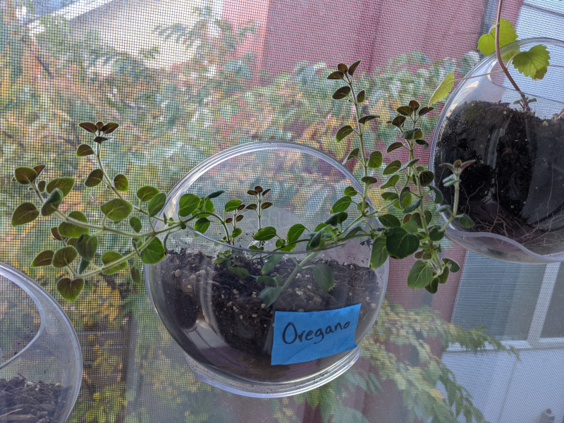 Oregano in the window